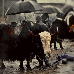 yak retro rainyday himalayas blackandwhite