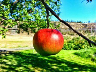 freetoedit apples appletree summer backyard