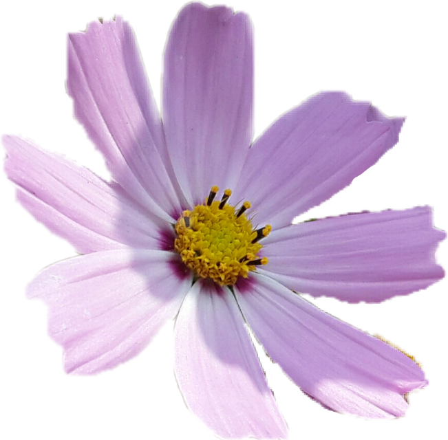 #flower #lilac