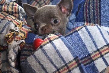 freetoedit sweet chihuahua puppy little