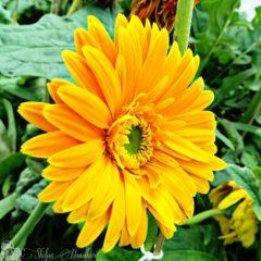 flower bright yellow garden soclose