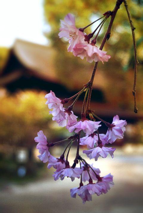 #photography,#springtime,#focusblur,#cherryblossoms,#freetoedit